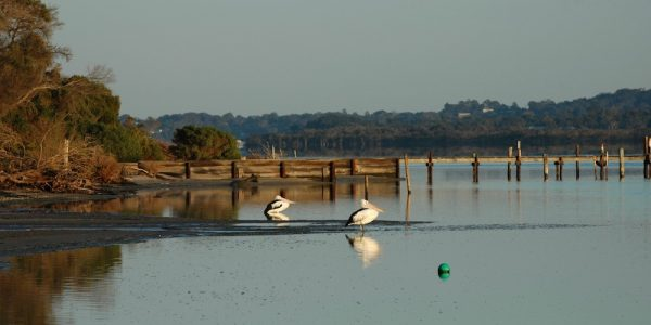 Pelicans, Barrier Landing Gippsland Lakes - Panorama