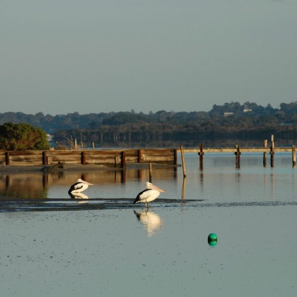Pelicans, Barrier Landing Gippsland Lakes - square